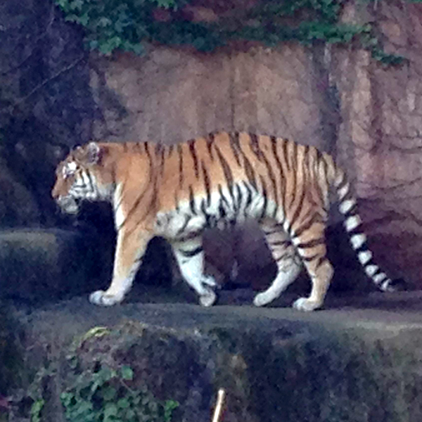tiger-daemon